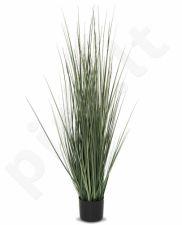 Dekoratyvinis augalas